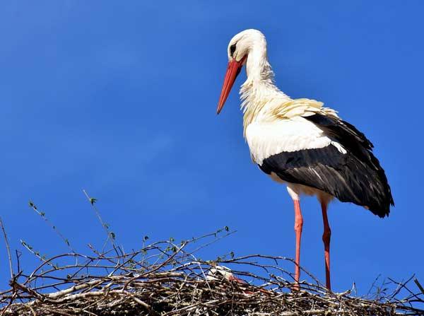 NABU - Storch auf Nest